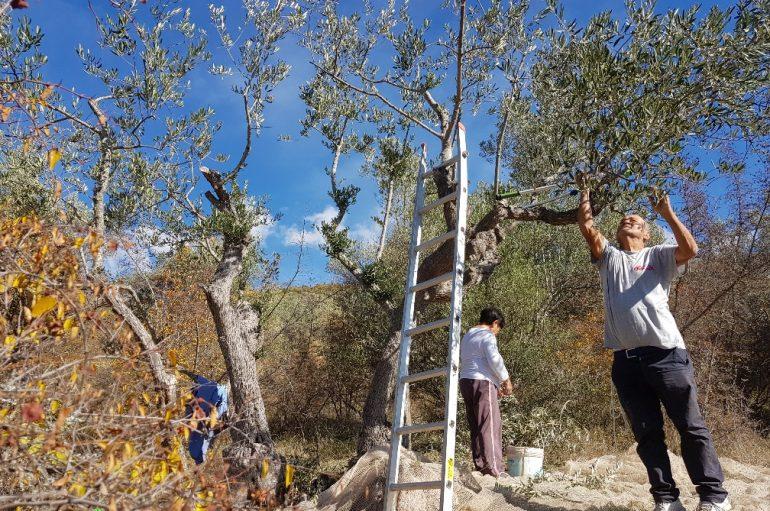 La raccolta delle olive in Abruzzo, tra aziende e fai da te
