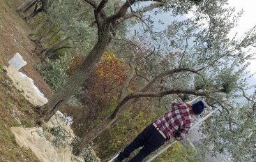 Olive, la raccolta disincantata in campagna